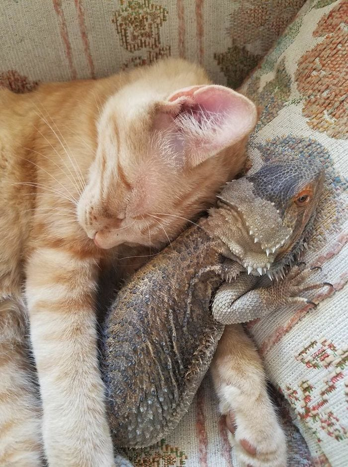 lizard and cat sleeping