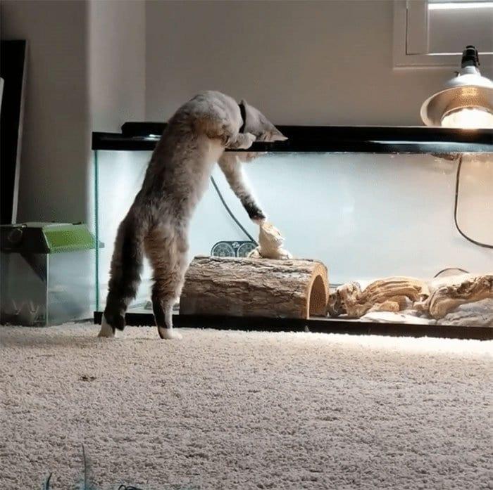 cat booping lizard