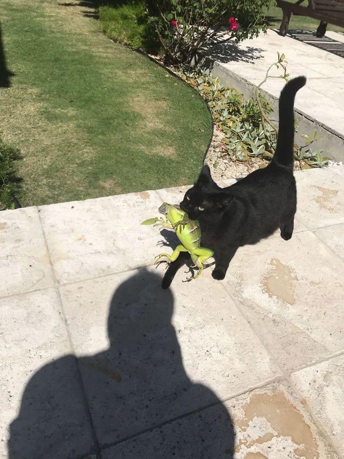 cat caught bearded dragon