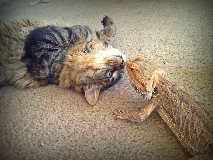 cat and lizard booping