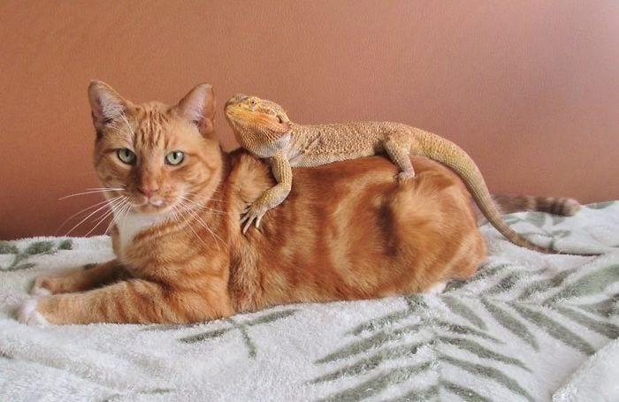 lizard resting on kitty