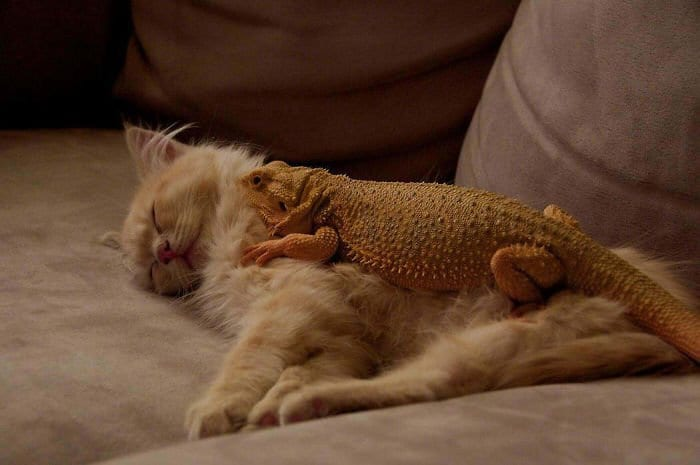 fat lizard on cat