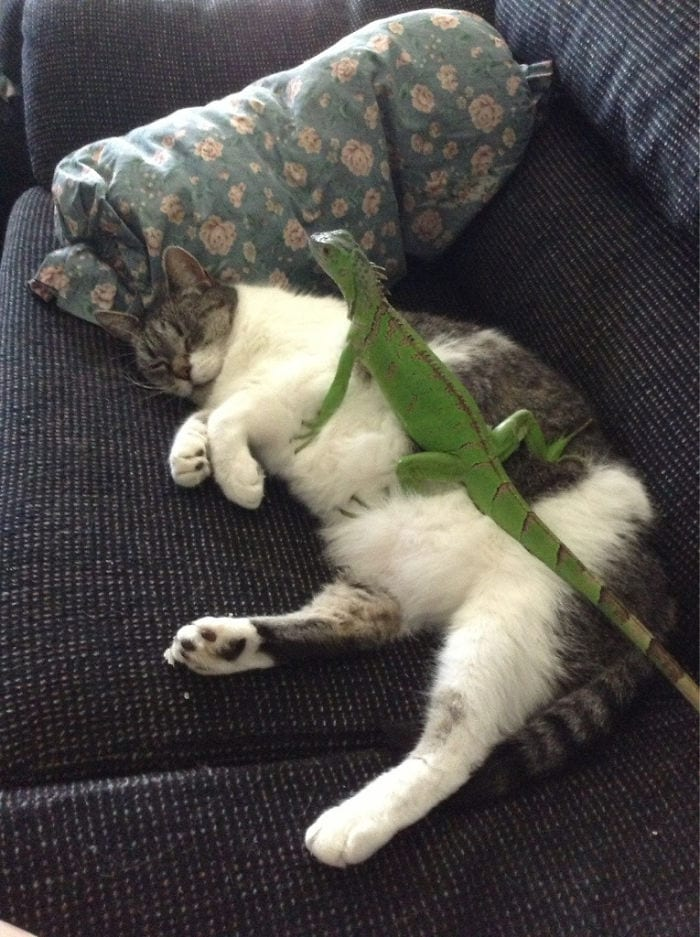 lizard resting on fat cat