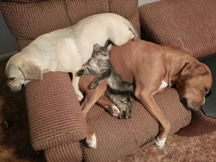 cat sleeping with dogs