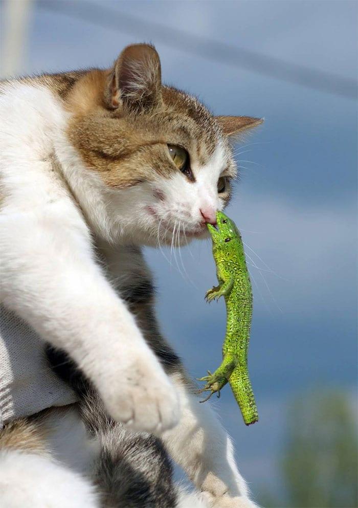 lizard biting cat nose