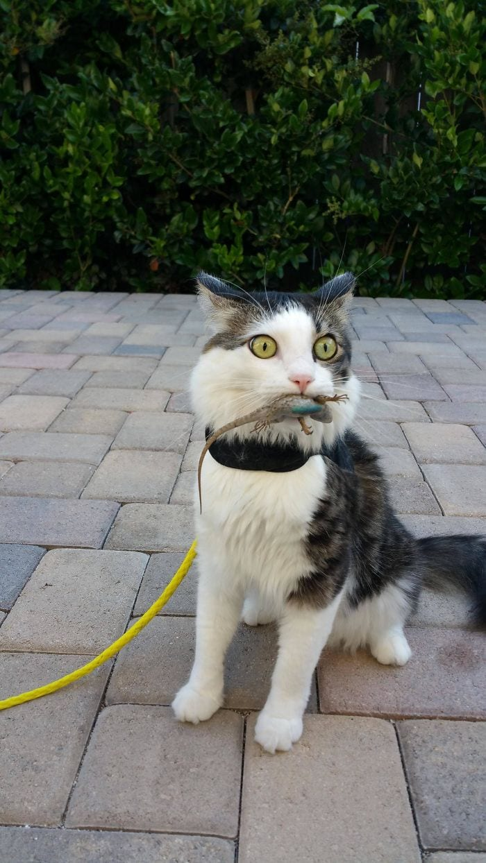 confused cat with lizard