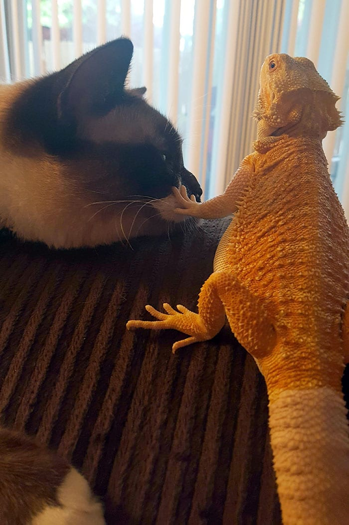 lizard shushing the cat